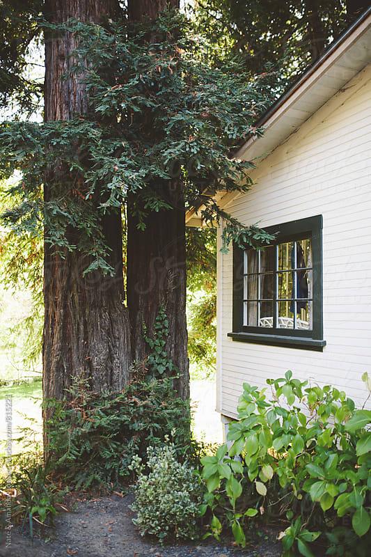 Redwood trees by Nate & Amanda Howard for Stocksy United
