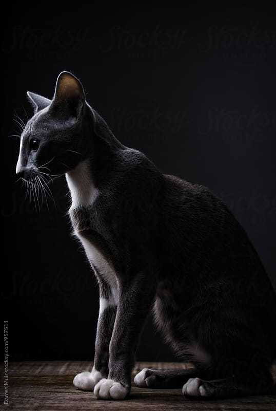 Short hair oriental cat: Profile view showing it's characteristic wedge shaped face,and long front legs. by Darren Muir for Stocksy United