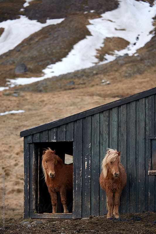 Iceland horses  stable by Daxiao Productions for Stocksy United