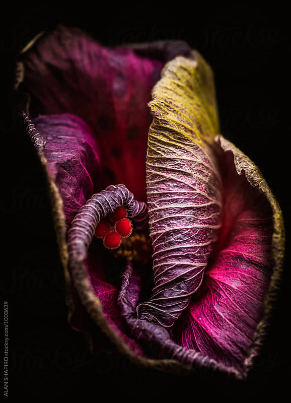 Hibiscus macro by ALAN SHAPIRO for Stocksy United