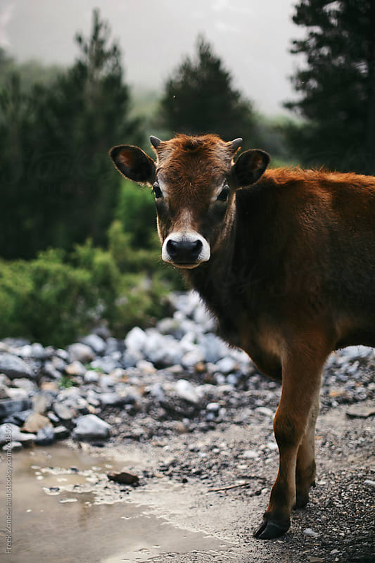 Cow standing in the middle of an unpaved road by Freek Zonderland for Stocksy United