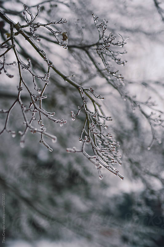 Branches In Ice by Tina Crespo for Stocksy United