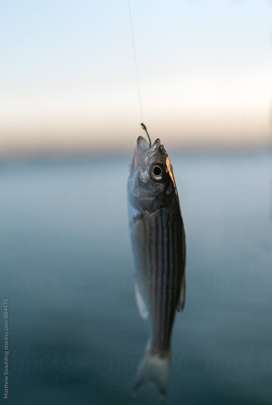 Small striped bass fish on fishing hook by Matthew Spaulding for Stocksy United
