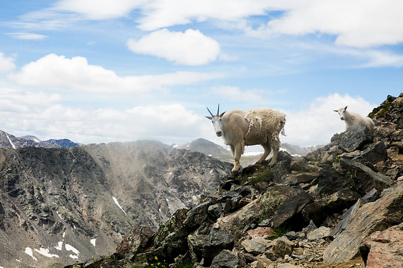 Mountain Goat Family  by Abby Mortenson for Stocksy United
