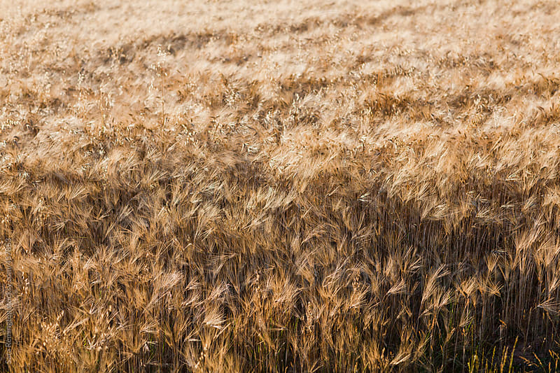 Wheat Field In Provence, France by Sara Remington for Stocksy United