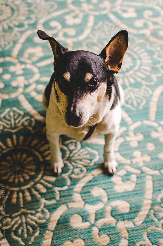 Dog sitting on a turquoise rug by Lindsay Crandall for Stocksy United