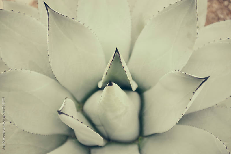 Close up of yucca plant by Paul Edmondson for Stocksy United