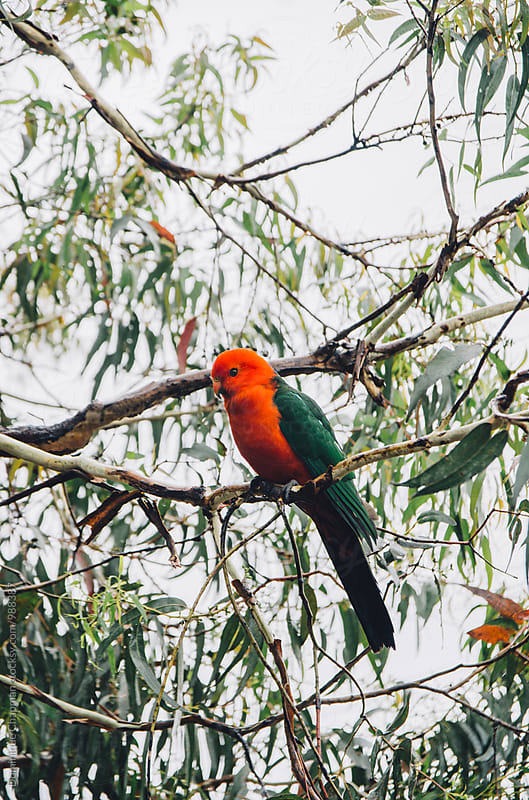 King Parrot perched in a gumtree by Dominique Chapman for Stocksy United