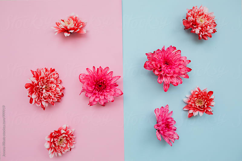 Flower on a pastel background by Jovana Rikalo for Stocksy United