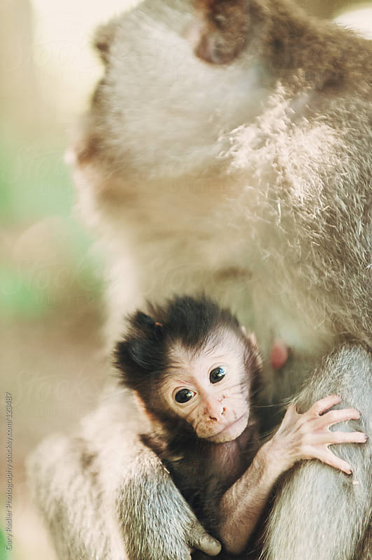 Baby long-tailed macaque with its Mother by Gary Radler Photography for Stocksy United