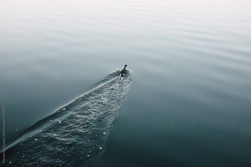 Duck Swimming in a Lake by Nemanja Glumac for Stocksy United