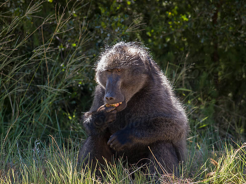 Baboon sitting eating in long grass by DV8OR for Stocksy United