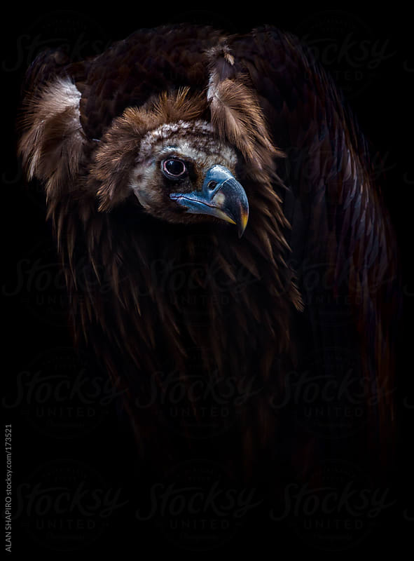 Cinereous Vulture by ALAN SHAPIRO for Stocksy United