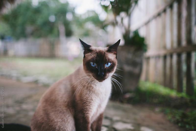 Blue-eyed cat by Gabriel Tichy for Stocksy United
