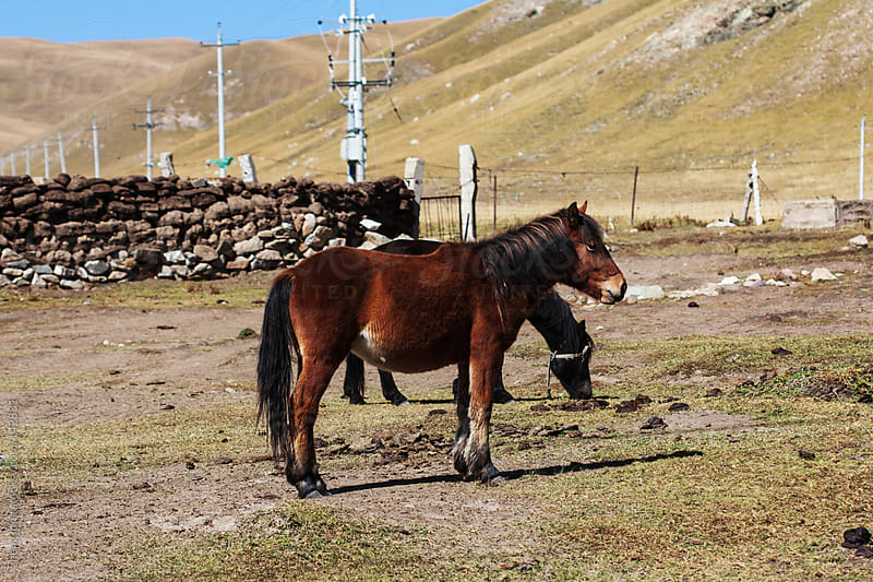 horses, Qinghai Tibet Plateau of China by zheng long for Stocksy United