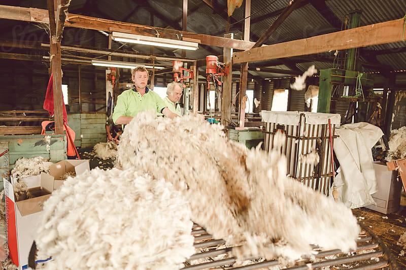 Shaking the Fleece for Sorting by Gary Radler Photography for Stocksy United