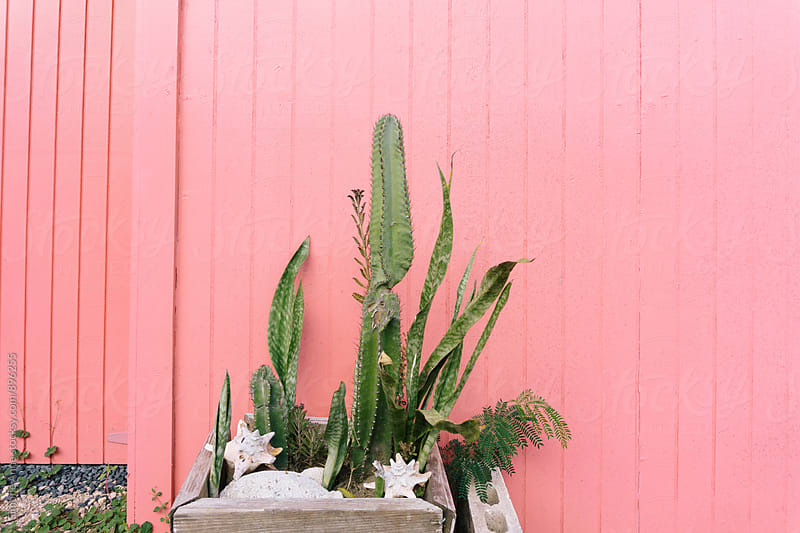 Cacti against pink wall by Simone Anne for Stocksy United