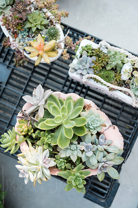 Different succulents on wooden pot in close-up by Lawren Lu for Stocksy United