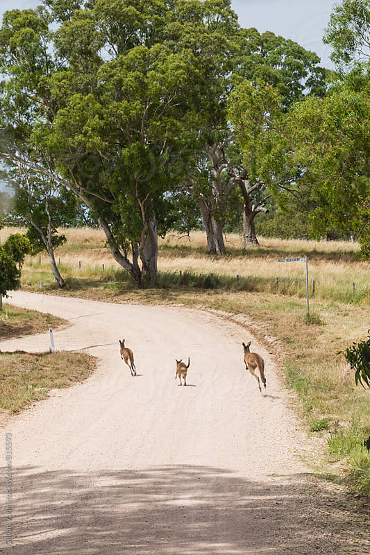 wild kangaroos on a country road in rural Australia by Gillian Vann for Stocksy United