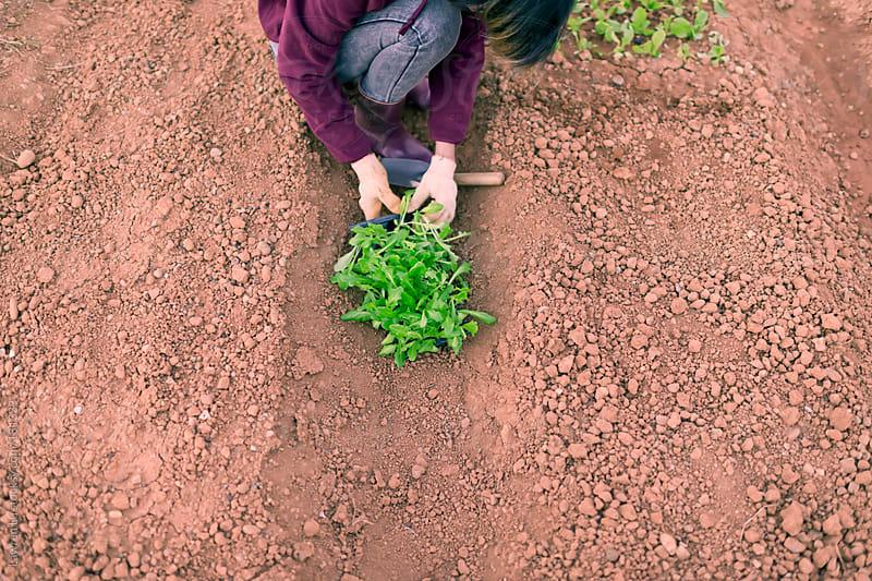 Woman planting baby lettuce by Lawren Lu for Stocksy United