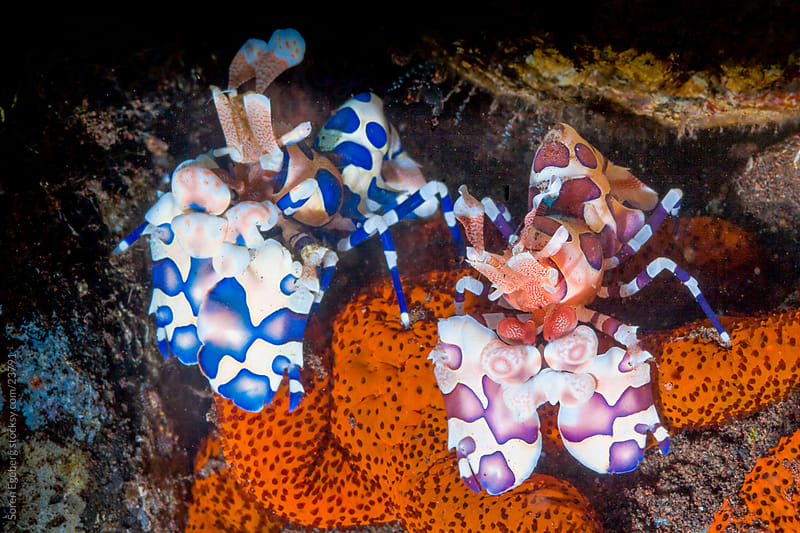 Two Harlequin Shrimps feeding on seastar on the coral reef  underwater in Thailand by Søren Egeberg Photography for Stocksy United