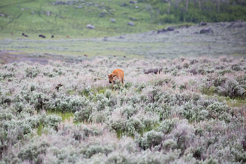 Bison calf in wilderness by michela ravasio for Stocksy United