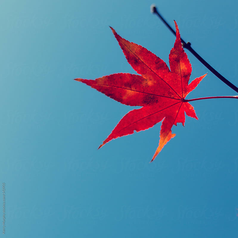 Single red maple leaf against blue sky by Kerry Murphy for Stocksy United