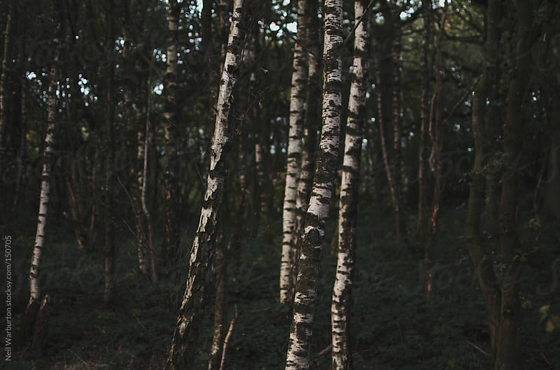Young Birches by Neil Warburton for Stocksy United