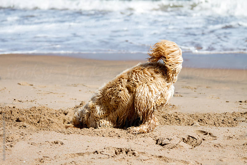 Cockapoo digging on the beach by Ruth Black for Stocksy United