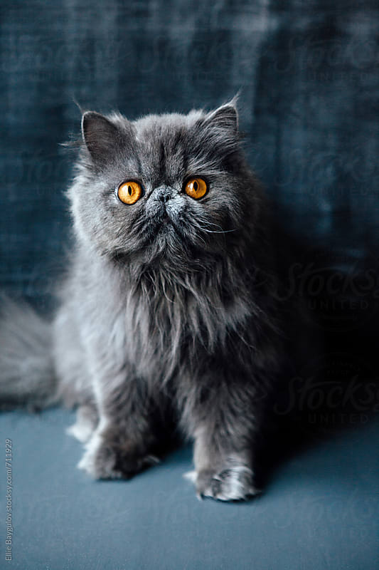 Persian grey kitty by Ellie Baygulov for Stocksy United