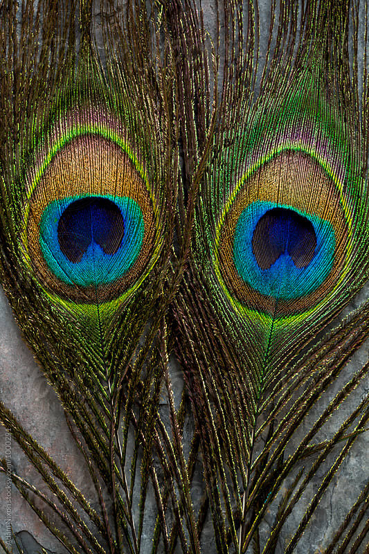 Two Peacock Feathers that look like eyes by Adam Nixon for Stocksy United
