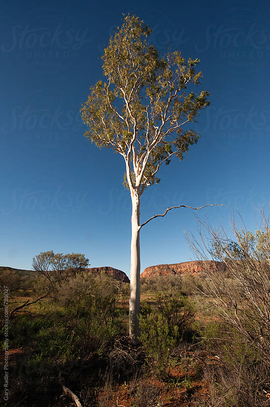 Looking up at a Ghost Gum in The Australian Desert by Gary Radler Photography for Stocksy United