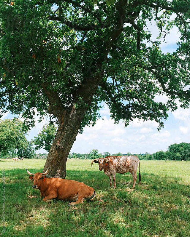 A mobile image to two cows in Texas  by Kristen Curette Hines for Stocksy United