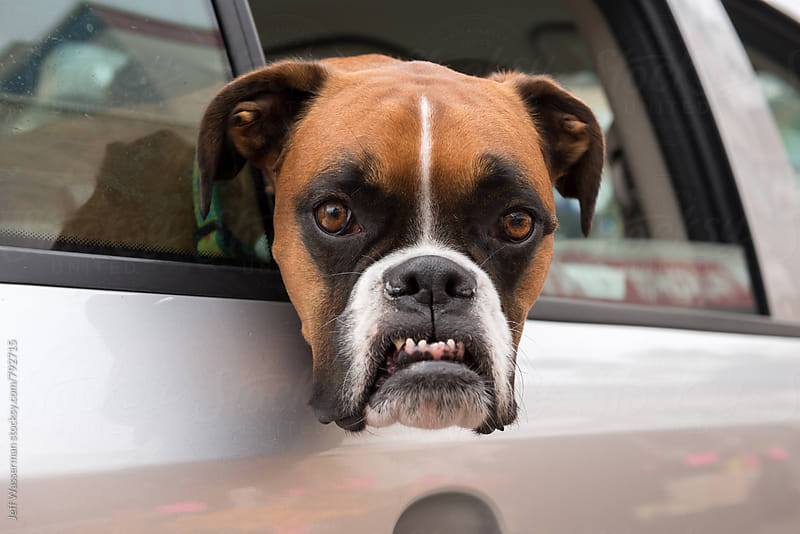Boxer Dog with Angry Funny Face by Studio Six for Stocksy United