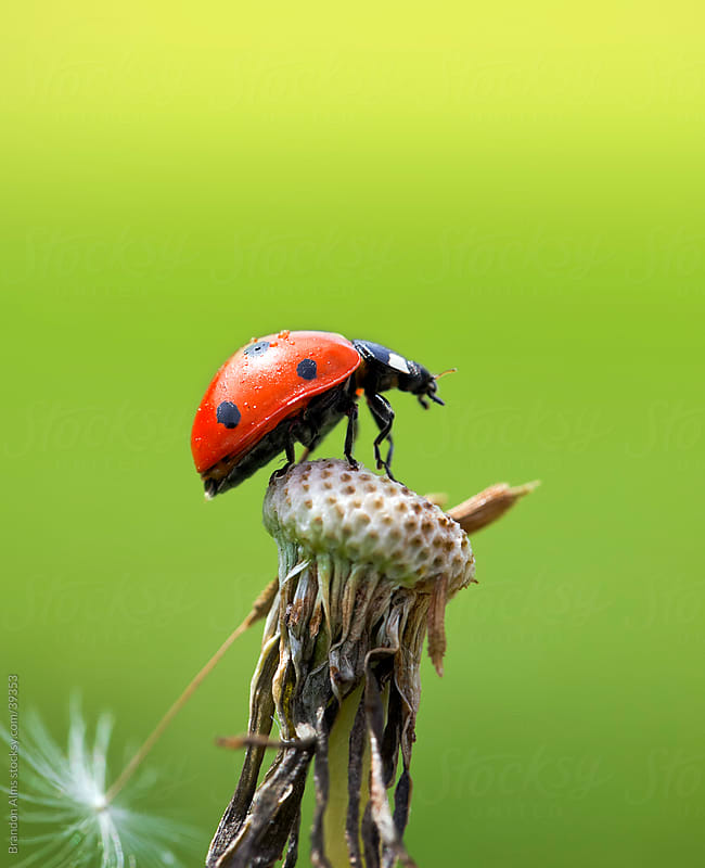 Ladybug On Top of a Dandelion in the Sunlight by Brandon Alms for Stocksy United