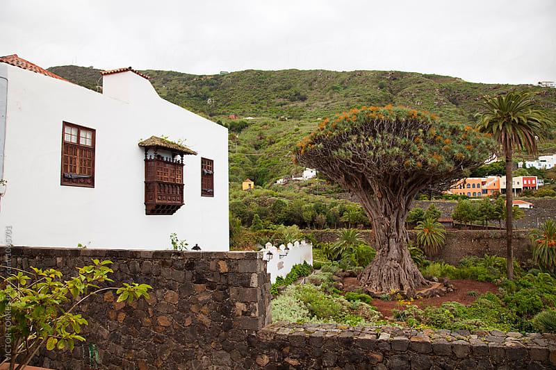 Drago Milenario, Tenerife by Victor Torres for Stocksy United