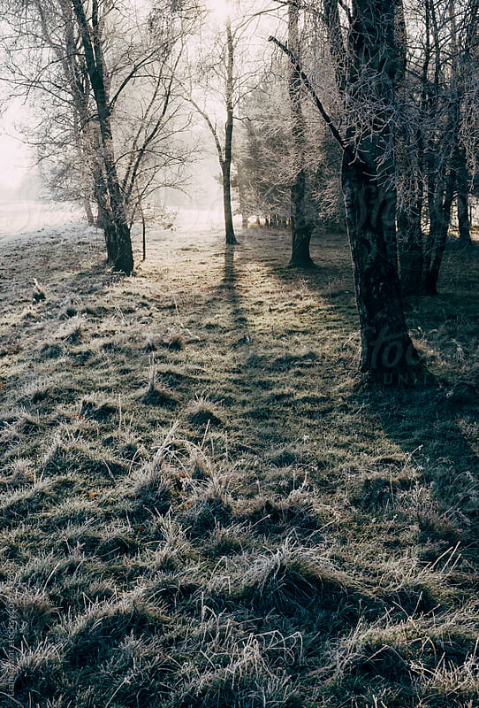 Light through frozen Birch trees.  by Liam Grant for Stocksy United