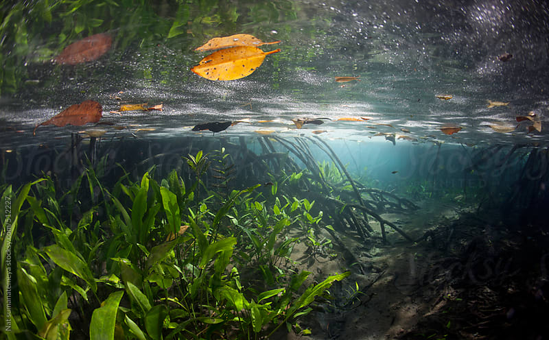 Underwater shot of Mangrove forest  by Nat sumanatemeya for Stocksy United