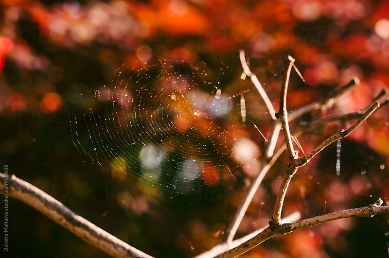Spider web in a vibrant red Japanese maple tree by Deirdre Malfatto for Stocksy United