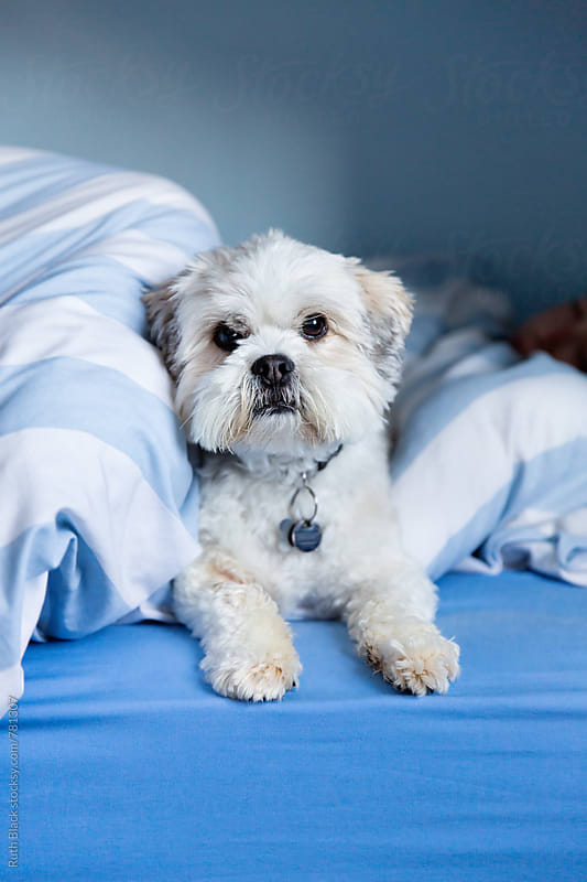 Lhasa apso in bed by Ruth Black for Stocksy United