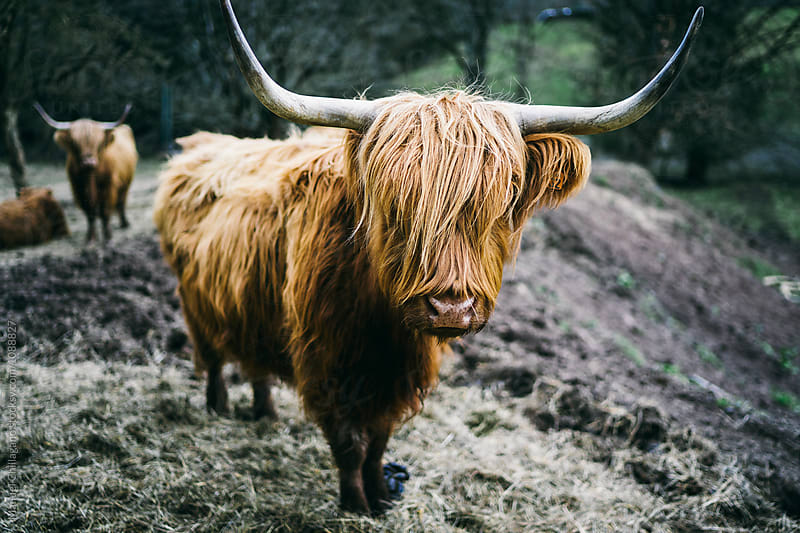 A herd of long-haired highland cattle facing the camera by Manuel Chillagano for Stocksy United