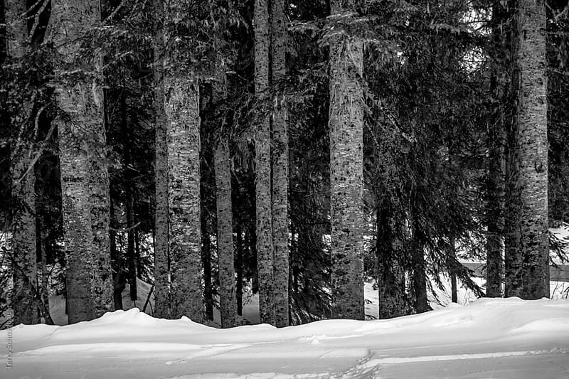 Pine Trees in the Snow by Terry Schmidbauer for Stocksy United