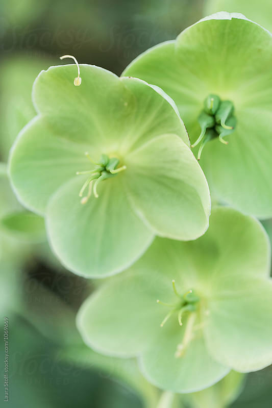 Three green hellebores flowered in garden and one falling pistil by Laura Stolfi for Stocksy United
