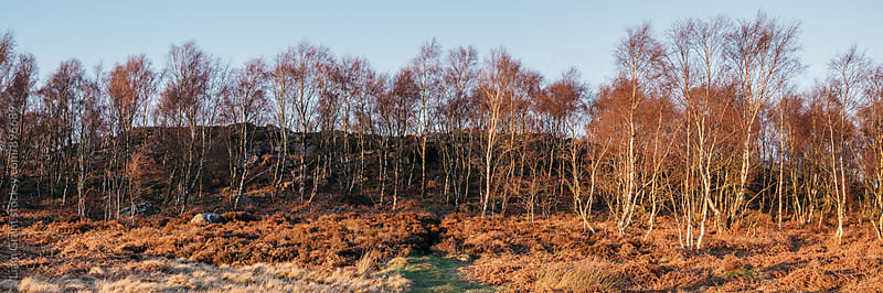 Birch trees basked in warm light at sunset. Upper Padley, Derbyshire, UK. by Liam Grant for Stocksy United