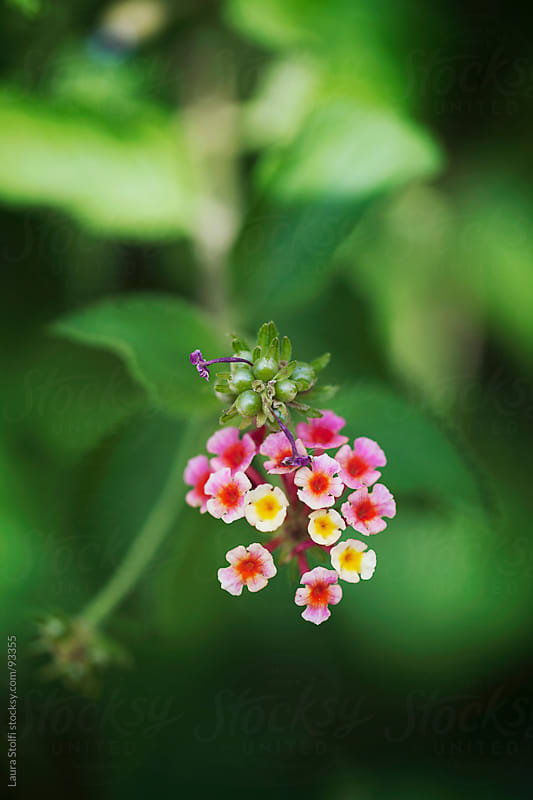 Macro catch of bicolor pink and yellow lantana flower head in bloom on shrub by Laura Stolfi for Stocksy United