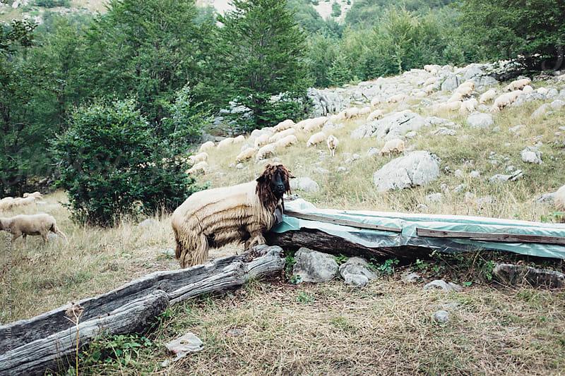 Wierd looking mountain sheep with dreadlocks by Marko Milovanović for Stocksy United