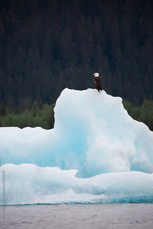 bald eagle perched on glacial iceberg in SE Alaska by Cameron Zegers for Stocksy United