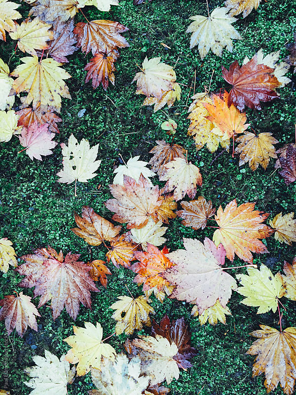 Japanese maple leaves in autumn by Paul Edmondson for Stocksy United