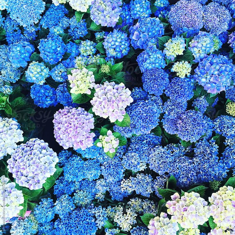 Blue and green hydrangea at a flower market by Chelsea Victoria for Stocksy United