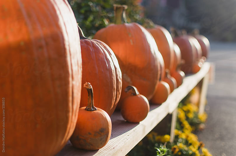 big and little pumpkins lined up on a bench by Deirdre Malfatto for Stocksy United